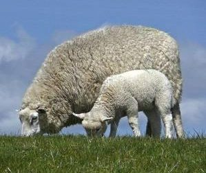 """Due pecore morte: """"Sono state avvelenate"""""""