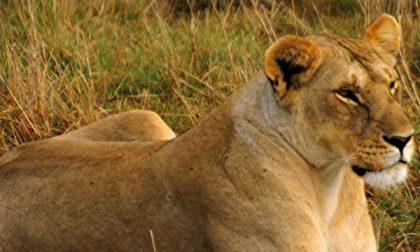 «Una leonessa a Valle San Nicolao»