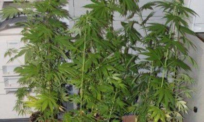 In casa una serra per coltivare la marijuana: arrestato a 42 anni dalla Polizia