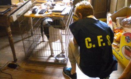 Bull Terrier dall'estero: allevatori nei guai