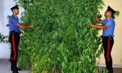 Coltivava piantine di marijuana nel giardino di casa: arrestato dai Carabinieri