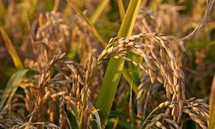 Sequestrate 3.800 tonnellate di finto riso biologico