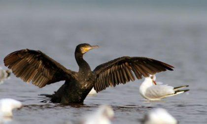 «Contro i cormorani uniamo le forze»