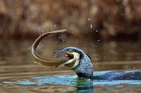 Cormorani, una piaga sempre più grave: pesci in pericolo