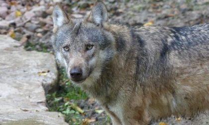 Una lupa trovata morta in Val Sessera da un runner