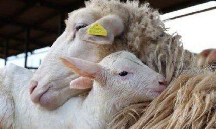 Ladri di bestiame rubano 155 pecore