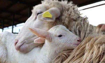 Recuperate più della metà delle pecore rubate