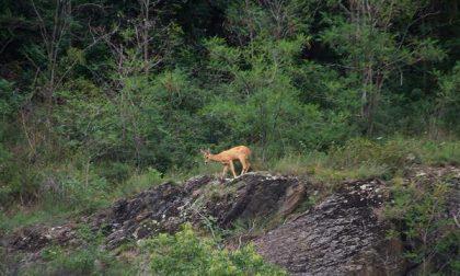 Uccide dei caprioli: denunciato cacciatore