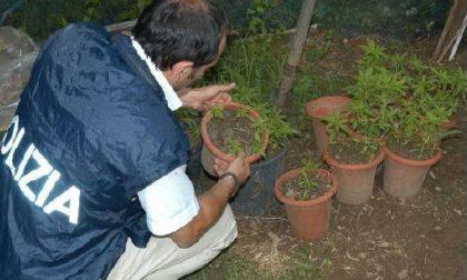 Marijuana in serra, ma è prescrizione