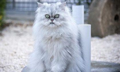 """Rubano oro e """"rapiscono"""" un gatto persiano"""