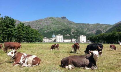 Rubate undici mucche da una stalla