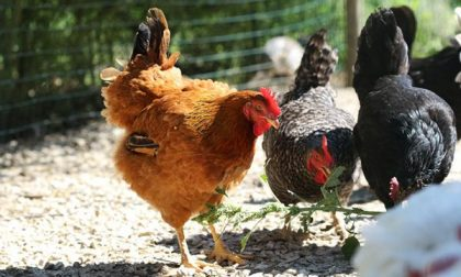 Gli rubano galline e un'oca