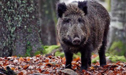 Travolge un cinghiale: l'animale scappa nel bosco, grossi danni all'auto