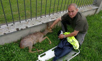 Capriolo ferito salvato dai carabinieri