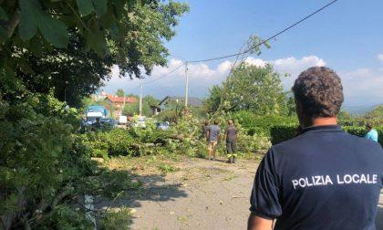 Grossa pianta blocca la strada per Oropa