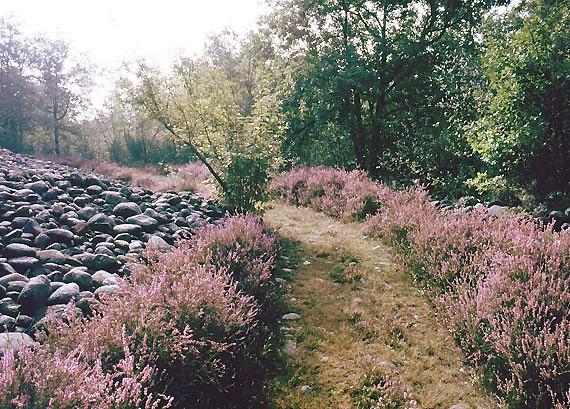 Uno dei sentieri della Bessa, con il brugo in piena fioritura