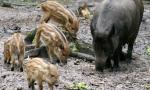 Cuccioli di cinghiale al macello: gli animalisti promettono denunce