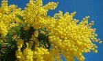 Il fine settimana profuma di mimosa