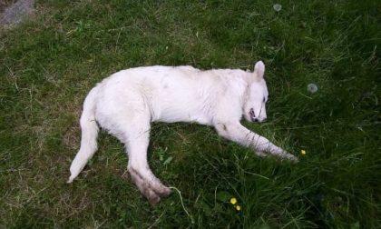 Cucciolo maremmano ucciso a bastonate, scatta taglia di 5000 euro