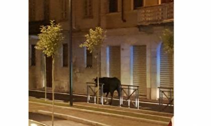 Mucca a spasso per il paese: abbattuta