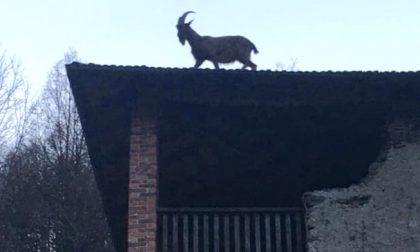 Una capra sale sul tetto di una casa