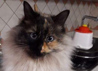 La gatta Luna non è più tornata a casa: chi l'ha vista?