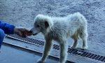 Massima diffusione: cucciolo di 4 mesi sparito da sabato. Necessita di cure. Chi l'ha visto?