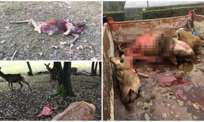 Cacciatori pubblicano foto choc di animali sbranati dai lupi nel Biellese