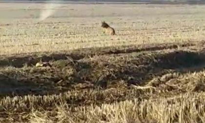 Avvistamento lupi tra Biellese e Vercellese, ecco la prova VIDEO
