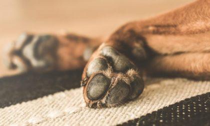 """Lega nazionale per la difesa del cane: """"Non usate candeggina sulle zampe dei vostri animali"""""""
