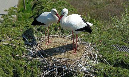 Una nuova coppia di cicogne fa il nido al Brianco di Salussola – IMMAGINI