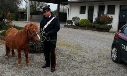 Pony in fuga lungo la statale per Viverone rischia di provocare incidenti
