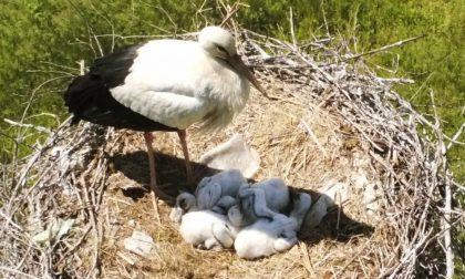 Cicogne del Brianco, schiuse le quattro uova: la foto intenerisce la Rete