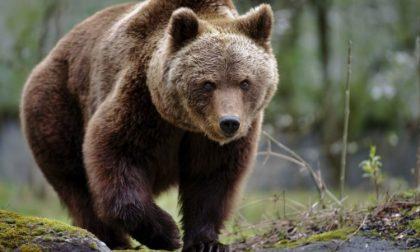 Nessuna traccia del passaggio dell'orso