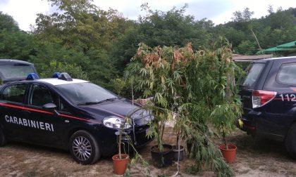 Sta innaffiando le piante di marijuana quando in casa gli piombano i Carabinieri