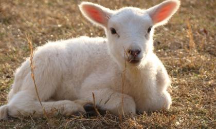 Cane lupo sbrana un agnello
