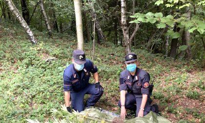 Nel bosco c'era una piantagione di cannabis, scoperta dai carabinieri