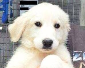 Rubano un cucciolo di Labrador, poi ne chiedono il riscatto