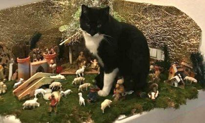 Chi ha visto questo bellissimo gattino? Smarrito da domenica è sordo. MASSIMA CONDIVISIONE