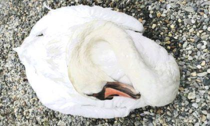 Lago di Viverone, ucciso uno dei cigni