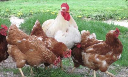 Vigliano, ladri in cascina: sono stati rubati 80 galli e galline