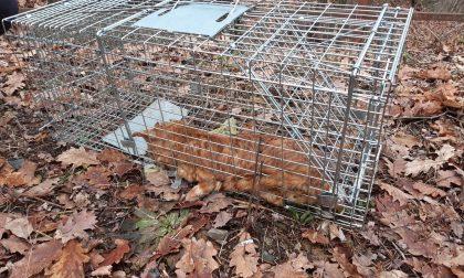 Gatto muore intrappolato in una gabbia a scatto