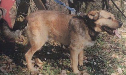 Chi ha visto questo cane? Ricompensa 1000 euro – MASSIMA CONDIVISIONE