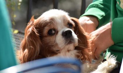 Si cerca Charlie, un cavalier king smarrito in zona Sandigliano