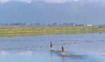 Il video dei caprioli che sguazzano nelle risaie vercellesi