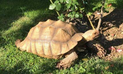 Tartaruga in fuga da Candelo. Diramato un avviso di ricerche
