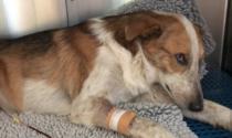 Salvato in extremis, servono cure: boom di condivisioni social per il cane Piccolo