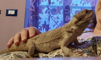 Attenzione! Un drago barbuto è scappato di casa e gira indisturbato
