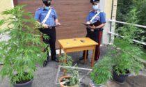 In casa piantine di marijuana e una carabina senza matricola: denunciato uomo di Bioglio